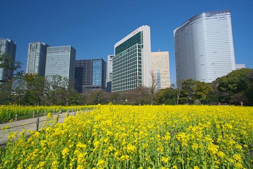 春には「ナノハナ」が美しく咲き3月下旬頃から4月上旬にかけては桜との競演が楽しめる