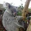 コアラの赤ちゃんの名前を来園者の投票で決定 - 東松山・こども動物自然公園