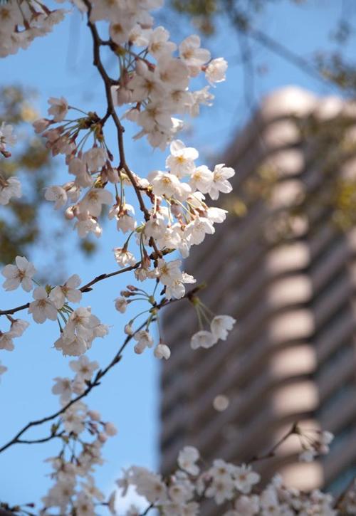 春の御殿山庭園に咲く桜