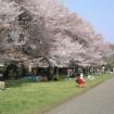 約200mのソメイヨシノの桜並木が続く西東京の「東大生態調和農学機構(旧東大農場)」