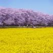 約1,000本の桜のトンネルと一面に広がる菜の花畑!「第85回 幸手桜まつり」が3月28日から