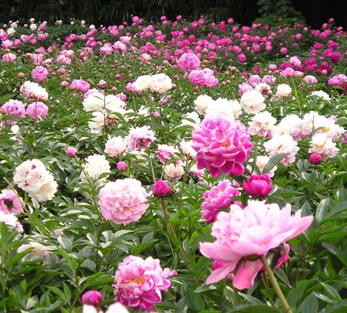 「しゃくやく園」の見ごろは5月上旬から中旬で、現在200品種、2,000株と全国一の規模