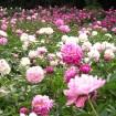 日本一の「しゃくやく園」と350種の「バラ園」の華やかな競演 - 大船植物園で5月上旬から