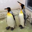 葛西臨海水族園にかわいい「オウサマペンギン」2羽が和歌山から来園