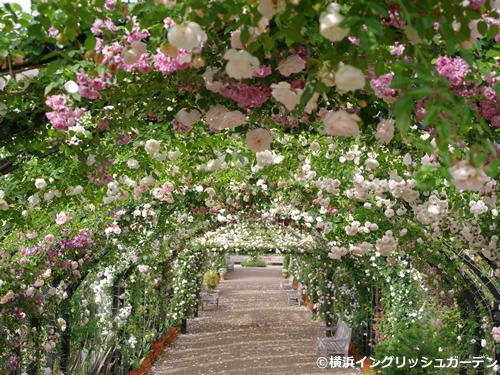 全長50m以上あるローズアーチ(バラのトンネル)は5月中下旬に見頃