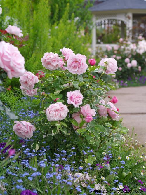 「ローズ&シュラブガーデン」 黄色、オレンジ、ラヴェンダー色など7色のバラを主役に、灌木や大型宿根草を組み合わせたスケール感のあるガーデン