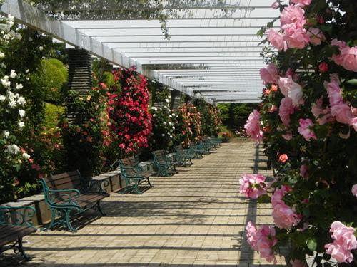 「バーゴラ通り」 満開の時期はバラのトンネルのような華やかさが楽しめる