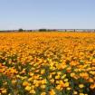 日本一広い絶景ポピー畑!「こうのすポピーまつり」が5月16日(土)~31日(日)開催
