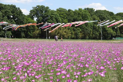 隣接する24,000㎡の「麦なでしこ畑」では、5月中旬から淡い紫色の麦なでしこが咲き広がる