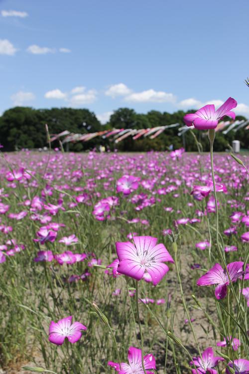 5月中旬から淡い紫色の麦なでしこが咲き広がる