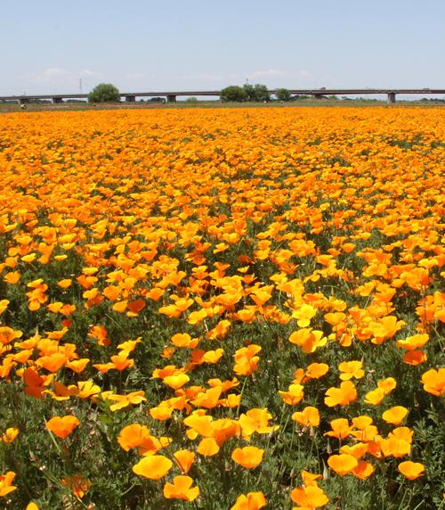 3,000万本の赤やオレンジのポピーが咲き誇る