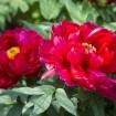 上野東照宮の「春のぼたん祭」が5月10(日)まで開催 - 500株以上のぼたんが彩り鮮やかに