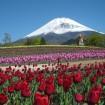 「富士山の裾野 天空のチューリップ祭り 2015」が5/6(水)~5/31(日)開催