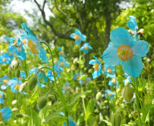ヒマラヤの青いケシは花色の美しさから「天上の妖精」「幻の花」と呼ばれている
