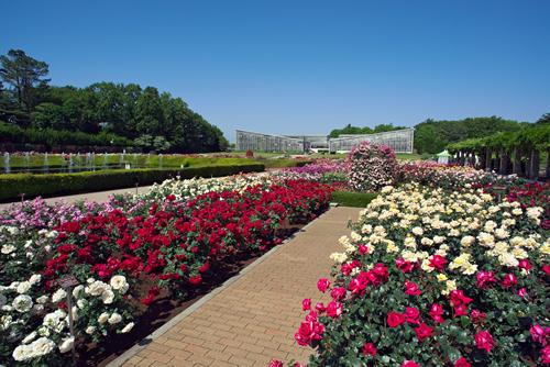 409品種・5,200株のバラが栽培