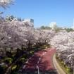 六本木・東京ミッドタウンの桜が満開に!桜ライトアップも4月19日(日)まで