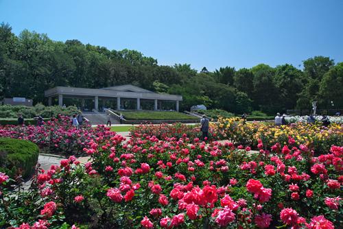 ばら園コンサートや早朝開園も 神代植物公園「春のバラフェスタ」が2015年5月9日~5月31日まで開催