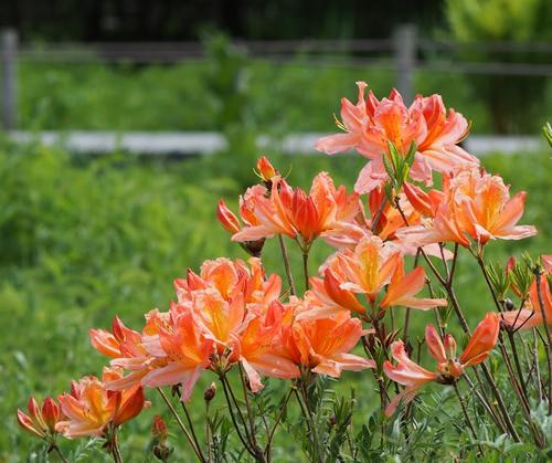 5月中旬~5月下旬に咲く「レンゲツツジ(蓮華躑躅)」