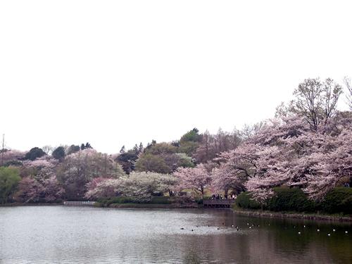 日本さくら名所100選 お花見客で賑わう 「三ツ池公園桜まつり」 - 横浜市鶴見