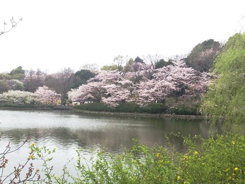 特に「中の池」の池沿いの桜並木は、華やかで水面に移る姿がきれい