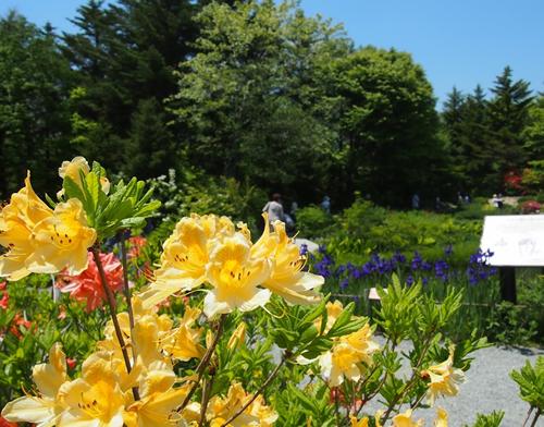 5月に咲く「キレンゲツツジ(黄蓮華躑躅)」 5月になるとレンゲツツジの鮮やかな色が目立ち始める。黄色や橙黄色の花が咲く種類を「キレンゲツツジ」と呼ぶ