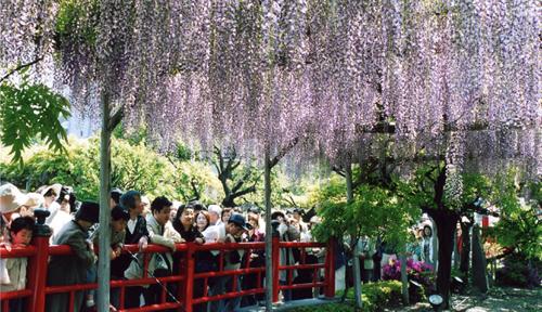 100株以上ある藤の花が一斉に咲き始め、鮮やかな朱色の「太鼓橋」と心字池の水面に映る「逆さ藤」は、訪れる人の目を楽しませる