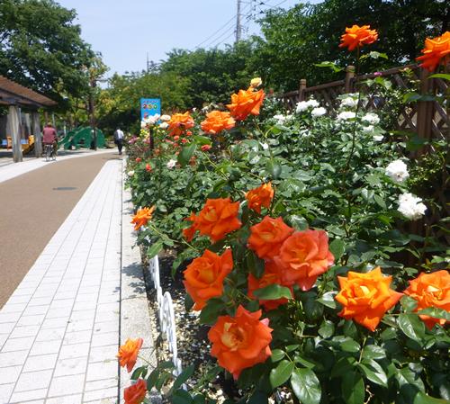 荒川遊園へ向かう園路の脇のバラ花壇