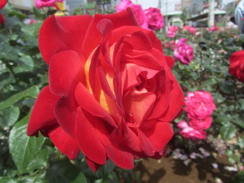 見事に咲いたバラ
