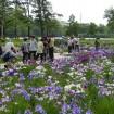 都内を代表する「葛飾菖蒲まつり(堀切菖蒲園・水元公園の両会場)」が2015年6月5日から開催