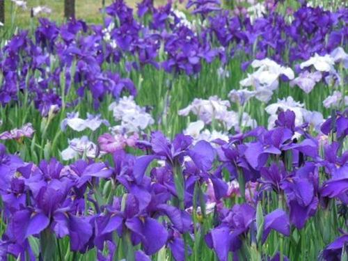 「水元公園」約100種14,000株の花菖蒲