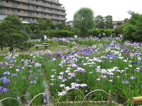 都内を代表する「葛飾菖蒲まつり(堀切菖蒲園・水元公園2会場)」が2015年6月5日から開催