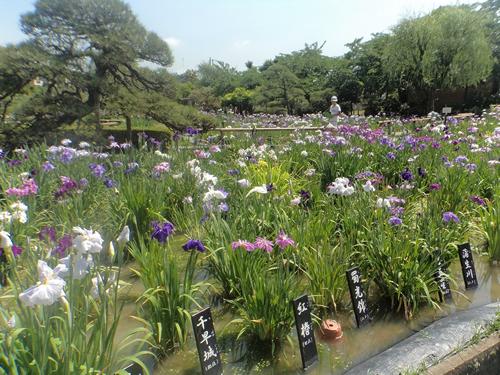 約7,700㎡の広大な園内には、江戸花菖蒲200種6,000株を植栽