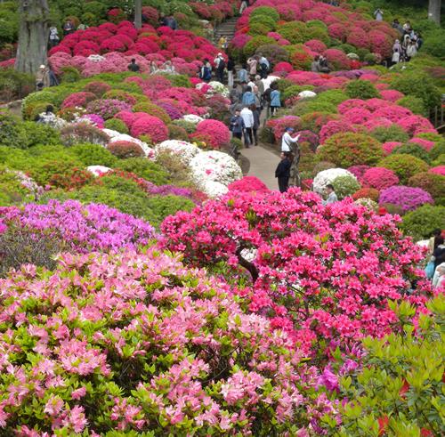 ピンクや赤、紫が圧巻「第46回文京つつじまつり」が根津神社で2015年5月6日まで