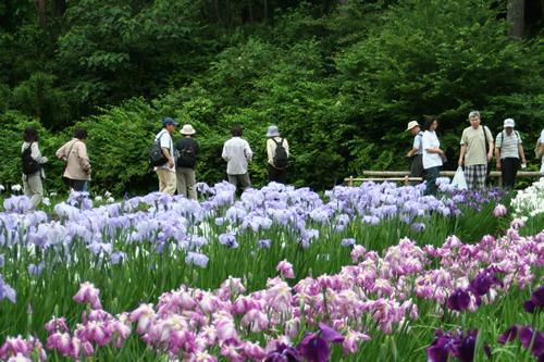 紫や白、青、ピンクなど約200種10万本のハナショウブ