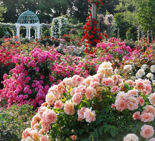 「春のローズガーデン」 フランス様式の庭園でモダンローズを中心に400品種展示。バラ園作出75品種をはじめとして世界中の有名なバラも。