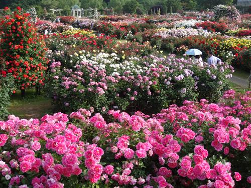 園内は1,500 品種 10,000本のバラが咲き誇る