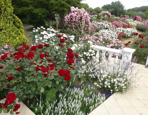 「ベルばらのテラスとベルサイユのバラ」 バラの新品種「ベルサイユのばら®」発表を記念して設置されたテラス。