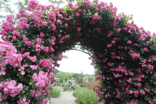 カップ咲きの可愛い小輪花をびっしりと咲かせる人気種「アンジェラのアーチ 」
