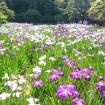 小石川後楽園「花菖蒲を楽しむ」2015年6月6日~6月21日 - ハナショウブと新緑の美しい田園風景