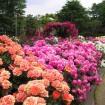 今年はバラの開花が早そう!2015年「バラ園フェスティバル」おすすめ9件開催情報