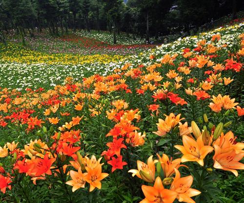 ところざわの「ゆり園」が6月6日(土)オープン!黄、桃、赤、白、橙のカラフルな色でいっぱい