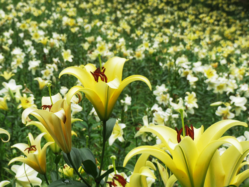 自然豊かな約3万㎡の敷地に50種類・約45万株のゆりが咲き誇る