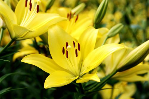 前半に咲くすかしゆり種 花は上向き(受け咲き)、芳香はなし。茶碗型で、花びらと花びらの間に隙間があり、透かして背景が見えるところから「すかしゆり(透かし百合)」と呼ばれている。