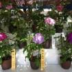 向島百花園で夏の風物詩「大輪朝顔展」を7月26日(日)~8月2日(日)に開催