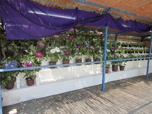 約500鉢のアサガオを展示