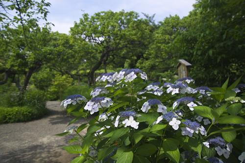 夏の向島百花園
