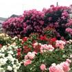 秘密の花園のバラが見ごろに!「生田緑地ばら苑」の一般公開が5/14から始まる