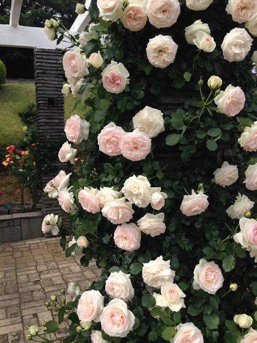 パーゴラにこぼれるバラを眺めながら