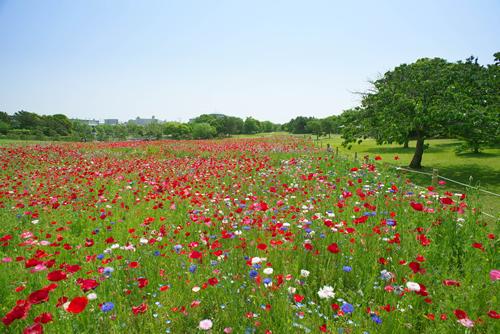 約4,500㎡の大規模花壇に咲く赤、白、ピンク、ブルーのポピーやワイルドフラワー