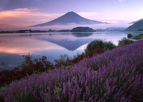 大石公園 ラベンダー畑の向こうに見える富士山